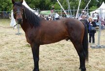 Le Corse / Le cheval Corse, quelquefois nommé « u Paganacciu » (le rebelle) par les habitants corses, est présent depuis plusieurs centaines d'années sur l'Île.