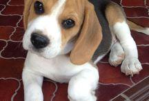 Beagle yoko