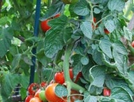 Tomato growing, recipies, etc... / Tomatoes are most popular home grown vegetables. I've used this board for a place to find unusual varieties, along with tips for producing healthy plants. I also have pinned many ways to use all of your tomatoes in delicious recipes. / by Viola Nursery and Greenhouse