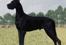 Great Dane Dream Dogs / by Melissa Pevy