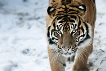 Big wild cats / by Cinciut