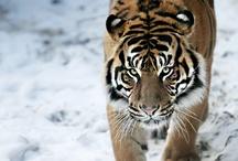 Big wild cats