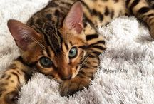 Bengal & Savannah / Pictures wit's beautiful bengal and savannah cats