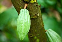 Le materie prime per il gelato / Frutti del cacao africano