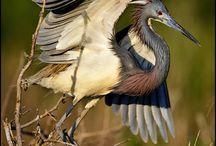 Birds   ( Herons & Egrets )