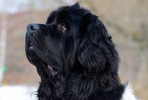 NewfFedor / Newfoundland dog