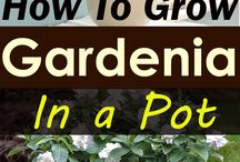 How to grow gardenia in a pot