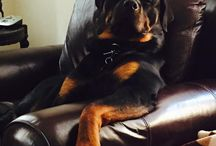grappige rottweilers