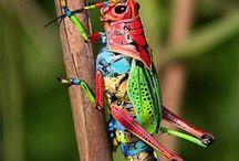 Grasshoppers, Crickets & Locusts