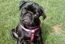 Baby #Pug #EdiethePug / Edie the Pug baby pics