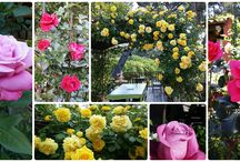 Roses 2014