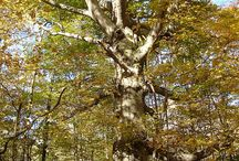Beech / Common beech (Fagus sylvatica) is a large, deciduous tree, native to southern England and South Wales. It also thrives throughout central and western Europe. It usually grows on drier, free-draining soils, such as chalk, limestone and light loams.