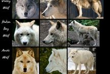 Wolves, tigers, lions, big cats, penguins & bears
