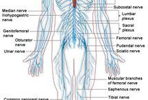 BI ~ Human Anatomy / BI (Biology) / by Darren Denton