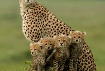 Gepárd - Cheetah