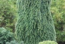 Tsuga heterophylla-Hemlokfenyő