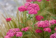 ACHILLEA (Yarrow) / Achillea millefolium, commonly known as yarrow, is a flowering plant in the family Asteraceae.