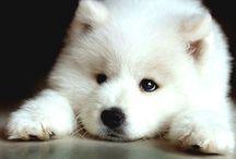 sad-samoyed-puppy-photo.jpg (1500×1125)