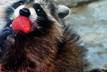The Raccoons / The naughty little 'Coons