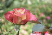 so lovely!!! Igashira Rose Garden