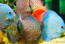 Podwodne Królestwo - Ryby akwariowe i ich podwodny świat. / Strona internetowa poświęcona akwarystyce słodkowodnej z artykułami na temat:  - choroby ryb akwariowych - zdjęcia ryb akwariowych - gatunki ryb akwariowych - akcesoria do akwarium - akwaria