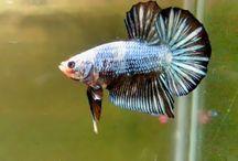 Amateur Betta Fish / Betta Fish