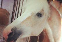 Paarden / Haflinger
