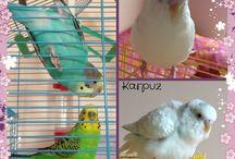 Güzel kuşlarım / Karpuz - Havuç - Şeftali