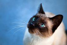 piękno czyli koty SYJAMSKIE