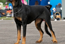 Berger de beauce and other dogs