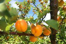 Cum cultivam...? / Sfaturi pentru agricultori, despre cele mai importante culturi de camp, de gradina, din livada. http://www.antenasatelor.ro