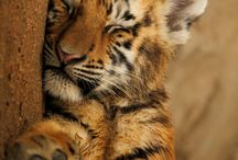 felinos / son animales increíbles
