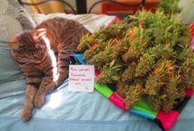 http://euroseeds.nl / Интернет магазин EuroSeeds работает с 2011 года и за прошедшее время мы успели завоевать доверие российских покупателей. В нашем магазине Вы найдёте качественные сорта семян от лучших производителей со всего мира, которые неоднократно участвовали в культовом Cannabis Cup проводимом с 1987 года.
