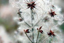 clematis vitabla flower project