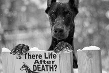 Dober Dogs