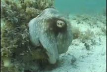 Mysterious World of the Octopus