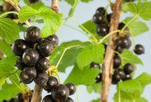 Soft Fruit Plants / Soft Fruit Plants by Ashridge Nurseries www.ashridgetrees.co.uk/soft-fruit-bushes