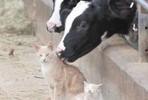 cow (hun:tehén)