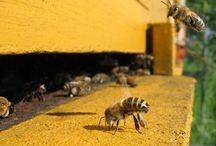 Bijen / Bijen, imkers, buckfast, kasten