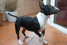 Bull terrier & Dogs