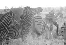 Zainy Zebras