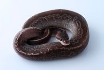 Python Regius morphs