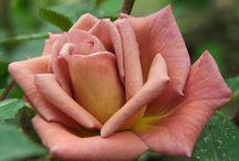 Gardening - Roses