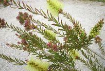 tasmanian native flora.