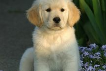 Golden Retriver <3