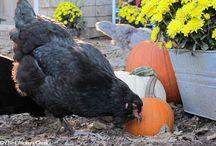 Backyard Chickens!