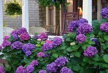 hydrangeas for our garden