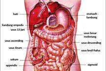 Anatomi Alat Pencernaan Utama