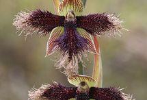 Orchidea / kvety