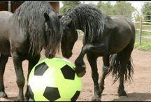 Friesians Horses